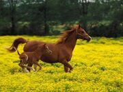 Arabian_Mare_and_Foal_Louisville_Kentucky
